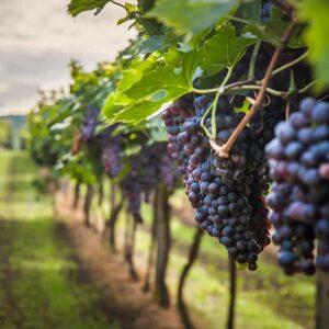 Fórmate en elaboración de vinos con el Máster en Enología.
