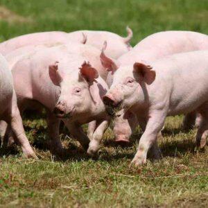 Estudia el Máster en Ganadería Ecológica + Máster en Producción Porcina de Reproducción y Cría y aprende a gestionar una granja sostenible con el medio ambiente.